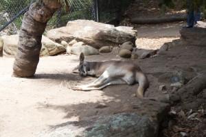 Canguro si riposa a Sydney